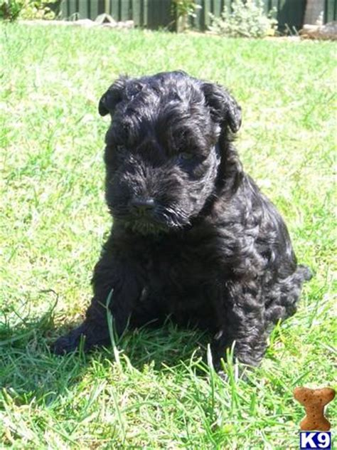 kerry blue terrier puppies for sale beautiful kerry blue terrier puppies for sale exce 20493