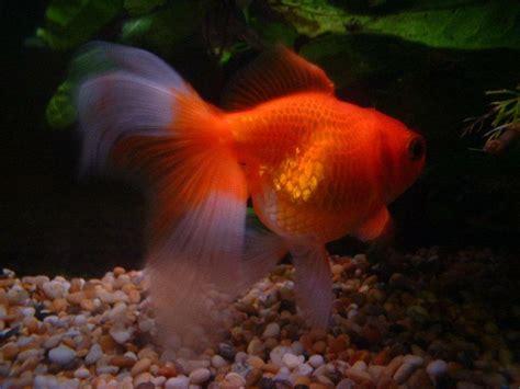 imagenes de uñas tipo pecera peces para acuario de agua fria facilisimo com