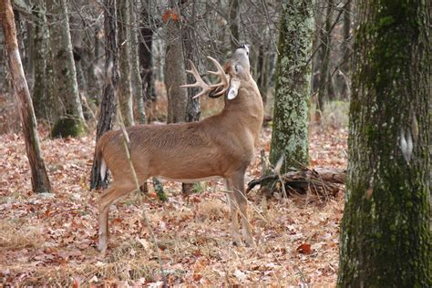 large buck day 53 skyline drive through shenandoah valley part 2