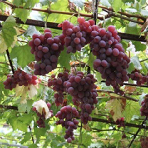 vanessa grape vine vitis vinifera buy