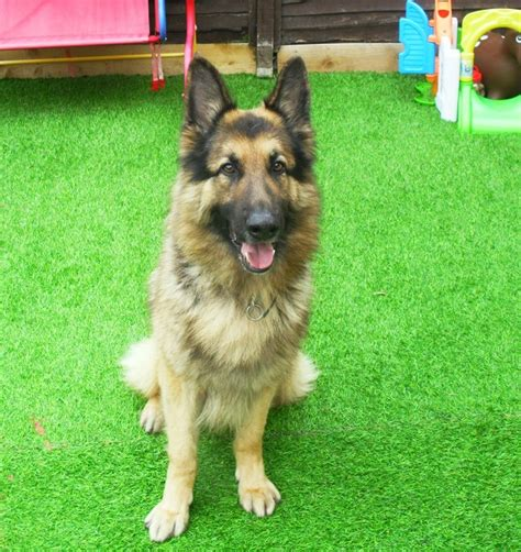 shepherd puppies for rehoming german shepherd rehoming birmingham dogs our friends photo