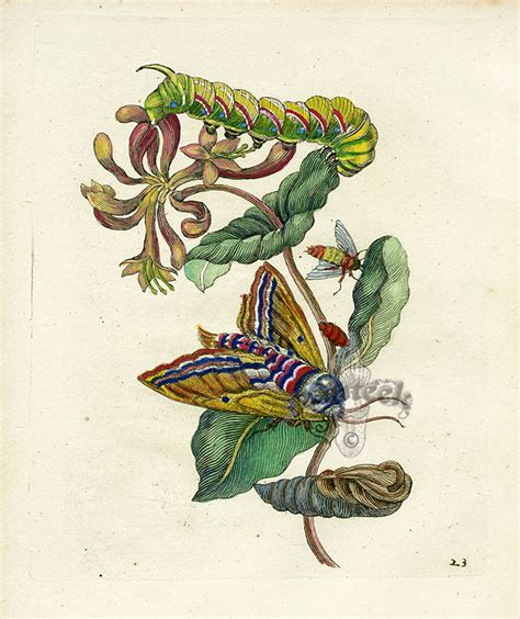 botanical lithograph grayscale coloring book books sibylla merian prints 1717