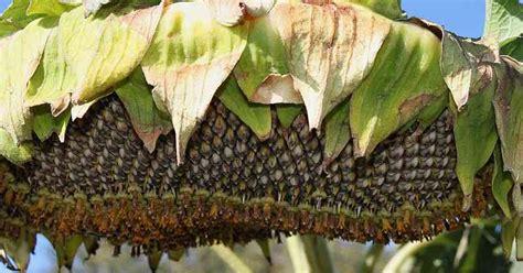 easy living the hard way harvesting sunflower seeds