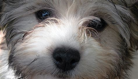 havanese eye problems havanese health concerns arizona california r havanese