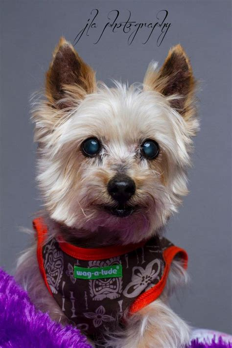 teacup yorkies for adoption in louisiana 25 best ideas about terrier rescue on yorkie yorkie puppies