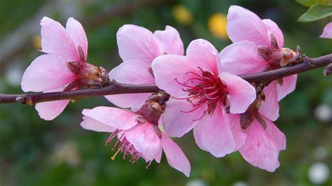 fiore di pesco foto gratis fiore di pesco ramo fiorito immagine