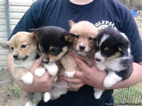 corgi puppies for sale 300 pembroke corgi pups price 300 350 for sale in el dorado arkansas best