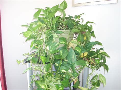 indoor vine plant how to maintain indoor plants garden guides