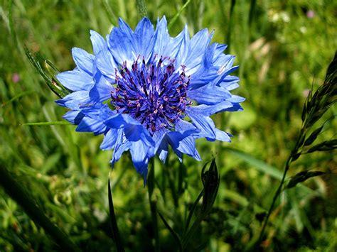 cornflower blue cornflower naturespot