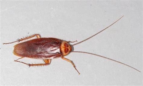 house roaches kill cockroaches with boric acid 187 nathangibbs com