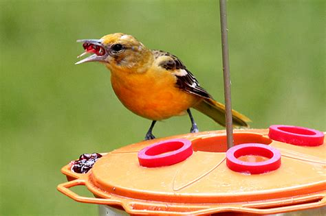 baltimore oriole back yard biology