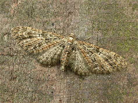 flying pug woodlands brindled pug eupithecia abbreviata