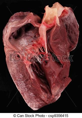 pig sections stock images of pig heart a cross section of a pig heart