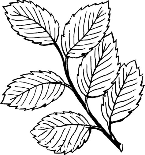 Tree Outline With Leaves by Black Fall Outline Drawing Leaf Tree White Domain Pictures Free Pictures