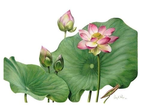 botanical painting in gouache exhibition of botanical art the mprg botanical drawings exhibitions and drawings