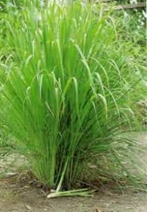 Lime Green Vase Introduction And Plant Description Cymbopogon Schoenanthus