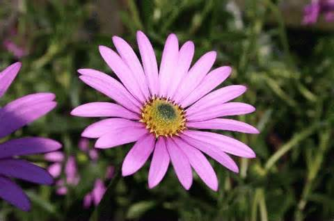With light green leaves pinky purple daisy like flowers are borne from