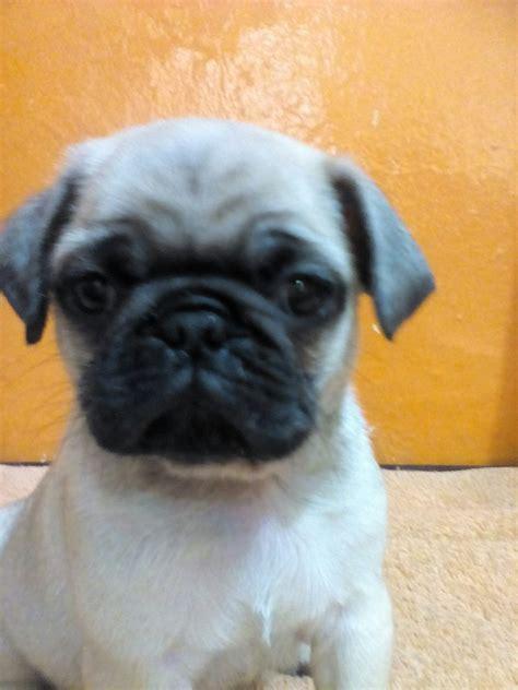 perro pug precio pug en m 233 xico venta de pug en m 233 xico compra venta de pug en m 233 xico cachorros de