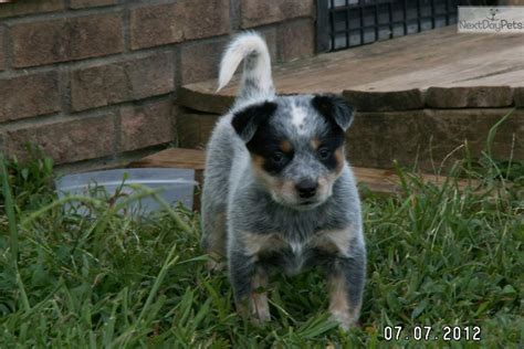 blue heeler puppies nc australian cattle blue heeler puppy for sale near carolina