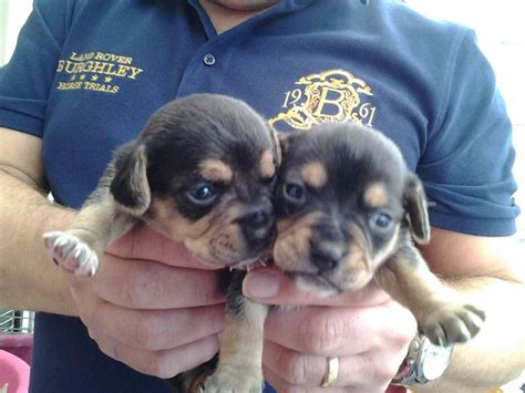 chihuahua beagle mix puppies for sale cheagle puppies for sale breeds picture