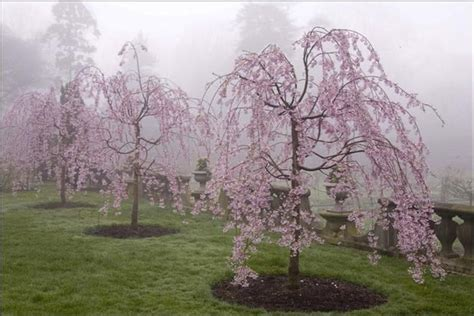weeping cherry tree 6 foot best 25 weeping cherry tree ideas on weeping trees definition and