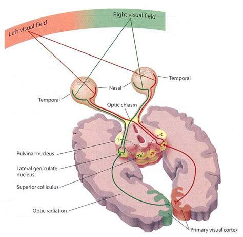 visual cortex diagram visual abilities of the brain