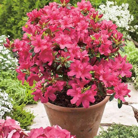 come curare le azalee in vaso le azalee piante appartamento come curare le azalee