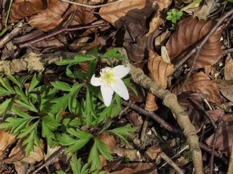 anemone enemy spotted pete s walks ashridge estate boundary walk page 4 of 6