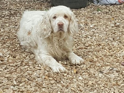 clumber spaniel puppies for sale clumber spaniel for sale spalding lincolnshire pets4homes