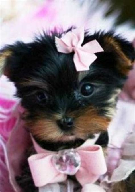 teacup yorkie breeders in sc dogs charleston sc free classified ads