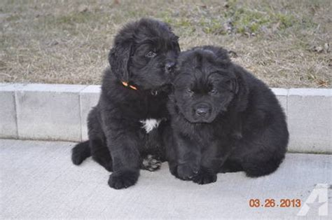 newfoundland puppies illinois akc newfoundland puppy s for sale in fox lake illinois classified americanlisted