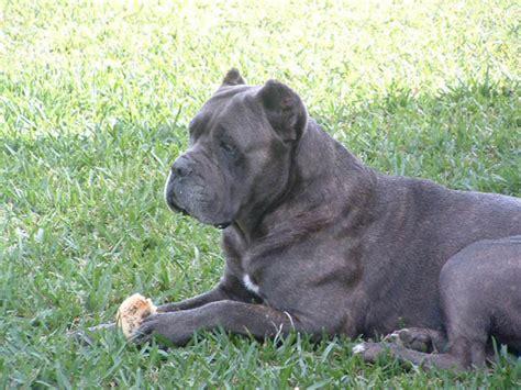 italian mastiff corso italian mastiff toby