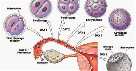At Aglance Sistem Reproduksi fokus doetha sistem reproduksi manusia 3