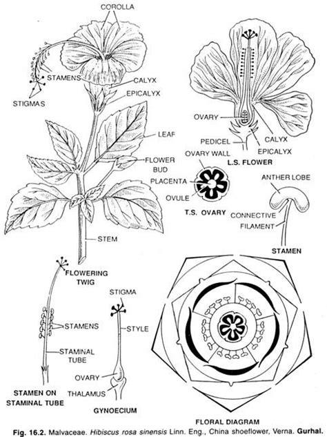 floral diagram of hibiscus pics for gt hibiscus rosa sinensis floral diagram