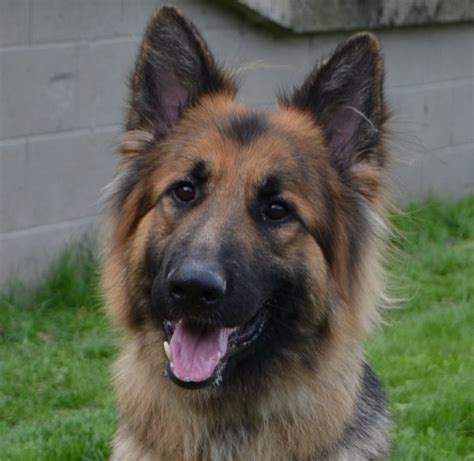house trained dogs for sale uk trained pet german shepherd for sale sheffield south yorkshire pets4homes