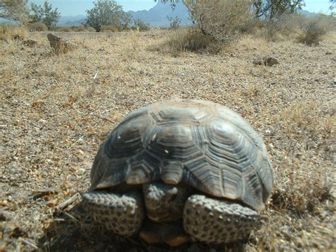 how long should a tortoise heat l be on desert tortoises and the environment