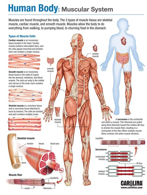 infographics human body muscular system contraction of motor units impremedia net