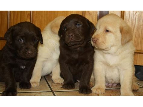 selling puppies at 6 weeks labrador brown white west rand puppies for sale