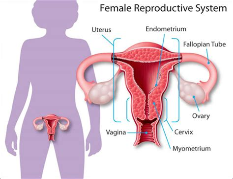 diagram of fallopian and uterus pelvic inflammatory disease womenshealth gov