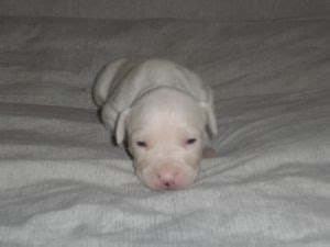 all white pitbull puppies for sale american pit bull terrier puppies in michigan