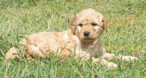 doodle puppies for sale washington miniature goldendoodle breeders puppies for sale spokane