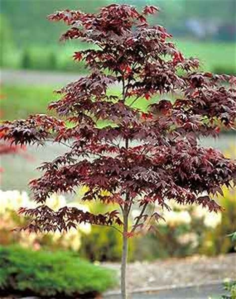 dwarf bloodgood japanese maple   www.pixshark.com images