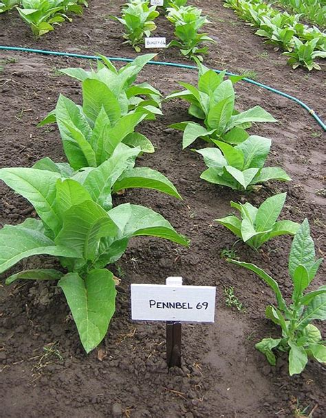 northwest tobacco seeds providing nicotiana seeds at