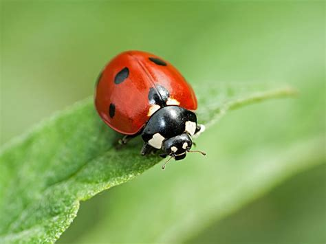 where to find ladybugs in your backyard good bug bad bug how can you tell the difference mnn