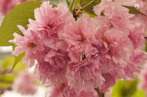 imagenes cerezo japones cerezo de flor prunus serrulata