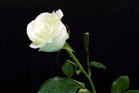 bunga mawar pesona  bunga beda warna beda makna