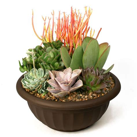 Kitchen Faucets For Less by Succulent Garden Plant Your Own Kit 0881011 The Home Depot