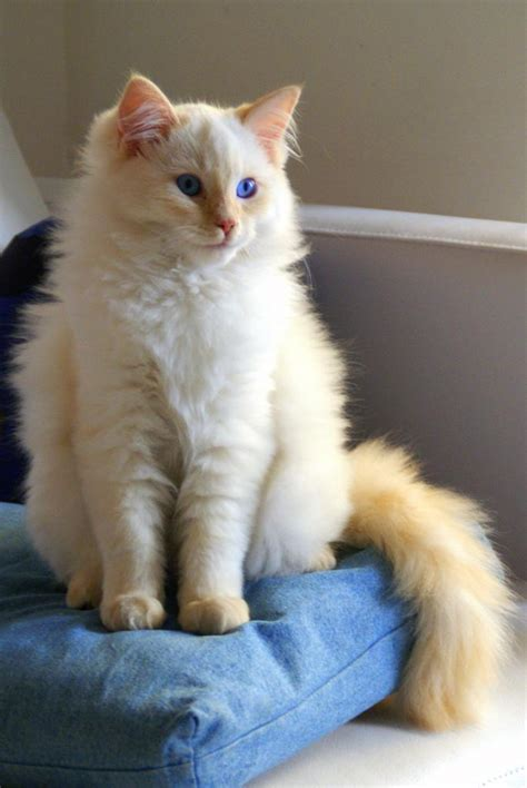 most loving breeds top 10 most affectionate cat breeds many
