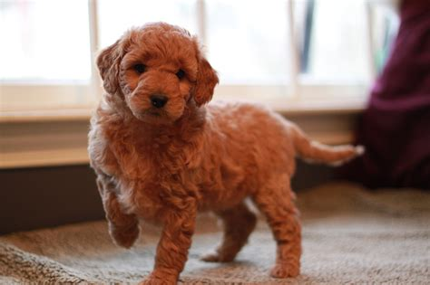 doodle puppies for sale in goldendoodle articles 2puppies