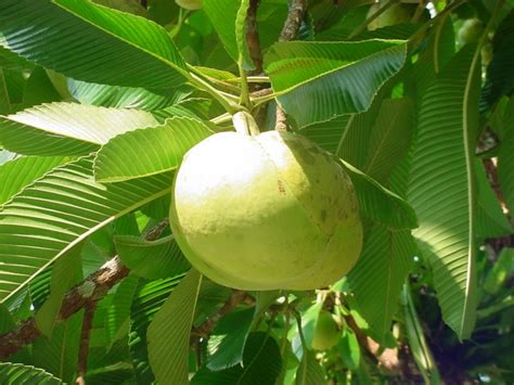 elephant fruit tree dillenia indica d speciosa elephant apple
